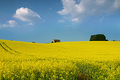 Rapeseed field, Cotswald